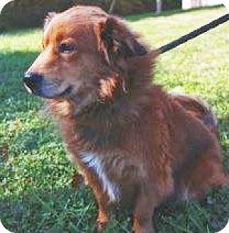 Sheltie, Shetland Sheepdog/Irish Setter Mix Dog for adoption in Lincolnton, North Carolina - Roscoe