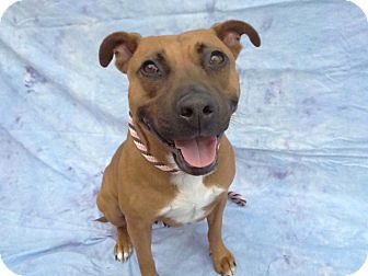 Pit Bull Terrier Mix Dog for adoption in Hawthorne, California - Tristana