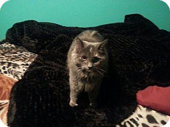 Domestic Longhair Cat for adoption in Toledo, Ohio - Jenni