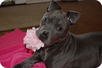 Weimaraner Mix Puppy for adoption in knoxville, Tennessee - JUDE