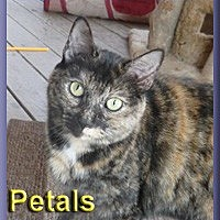 Domestic Shorthair Cat for adoption in Aldie, Virginia - Petals
