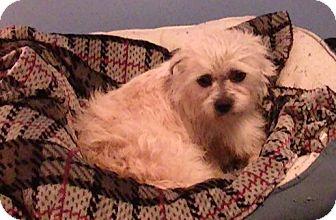 Shih Tzu/Cairn Terrier Mix Dog for adoption in Washington, D.C. - Cyrus