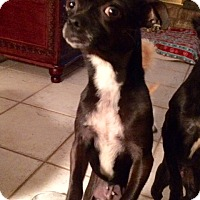 Adopt A Pet :: Lacy - Edmond, OK