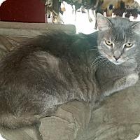 Adopt A Pet :: Major - Bentonville, AR