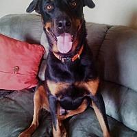 Rottweiler Dog for adoption in White Hall, Arkansas - Tank (Independent Adoption)