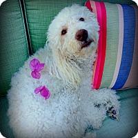 Adopt A Pet :: Adorable Poodle! - Los Angeles, CA