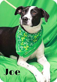Border Collie Mix Dog for adoption in Twin Falls, Idaho - Joe