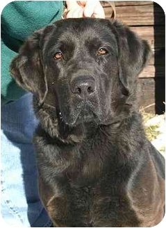 Labrador Retriever Mix Dog for adoption in Ladysmith, Wisconsin - Dakota