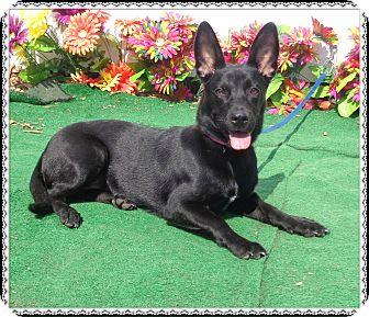 Corgi Mix Dog for adoption in Marietta, Georgia - ROSE