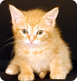 Domestic Shorthair Kitten for adoption in Newland, North Carolina - Roan