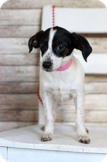Dachshund Mix Puppy for adoption in Waldorf, Maryland - Lyra