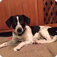 Adopt A Pet :: Winston - Randolph, NJ