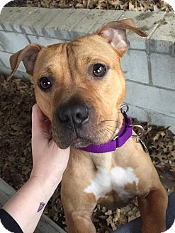 American Pit Bull Terrier/American Staffordshire Terrier Mix Dog for adoption in Des Peres, Missouri - Jade