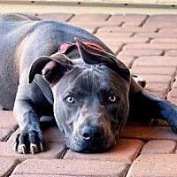 Adopt A Pet :: Bellatrix - Gilbert, AZ