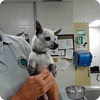 Chihuahua Dog for adoption in Salinas, California - PEARL