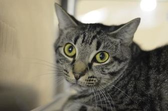 Domestic Shorthair/Domestic Shorthair Mix Cat for adoption in Fallston, Maryland - Sunburst
