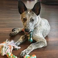 Adopt A Pet :: Roma - Los Angeles, CA