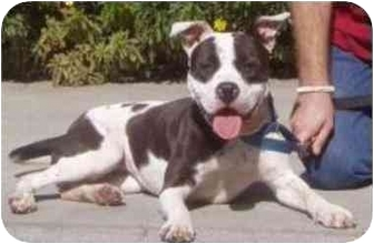 American Pit Bull Terrier Mix Dog for adoption in Berkeley, California - Sally