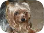 Yorkie, Yorkshire Terrier Dog for adoption in Statewide and National, Texas - Winston-TX