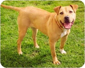 American Staffordshire Terrier/Labrador Retriever Mix Dog for adoption in Marina del Rey, California - Butterscotch