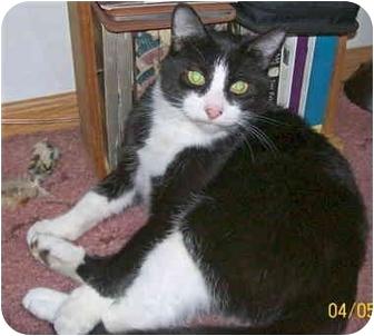 Domestic Shorthair Kitten for adoption in Kokomo, Indiana - Bow Bow