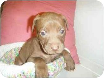 Retriever (Unknown Type) Mix Puppy for adoption in West Richland, Washington - Puppy 7 - Jazmine