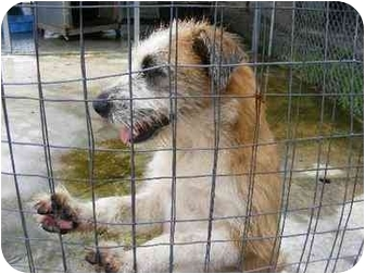 Wirehaired Fox Terrier/Terrier (Unknown Type, Medium) Mix Dog for adoption in Alexandria, Virginia - Anastasia