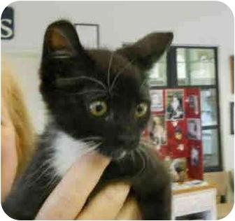 Domestic Shorthair Kitten for adoption in San Clemente, California - MOE