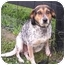 Photo 1 - Beagle/Bluetick Coonhound Mix Dog for adoption in Center Valley, Pennsylvania - Samantha