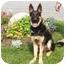 Photo 1 - German Shepherd Dog Puppy for adoption in Rigaud, Quebec - Zack