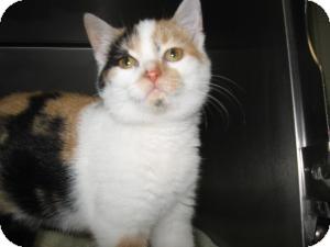Domestic Shorthair Kitten for adoption in Chambersburg, Pennsylvania - Mimi