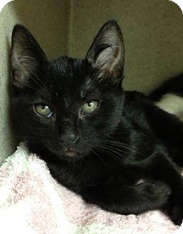 Domestic Shorthair Kitten for adoption in Dublin, California - Janet