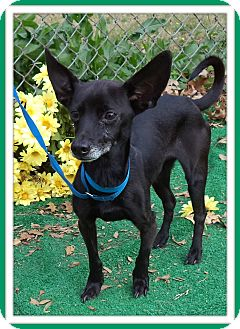 Chihuahua Mix Dog for adoption in Marietta, Georgia - BLACK JACK