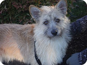 Cairn Terrier Mix Dog for adoption in Snoqualmie, Washington - Bowie