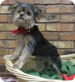 Yorkie, Yorkshire Terrier/Shih Tzu Mix Puppy for adoption in Benbrook, Texas - Buddy