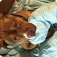Adopt A Pet :: Chance - Clarksburg, MD