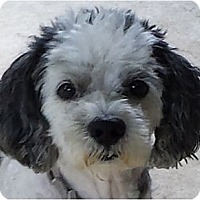 Adopt A Pet :: Alfie-PA - Emmaus, PA