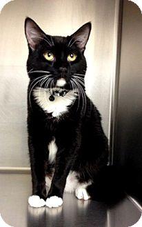 Domestic Shorthair Cat for adoption in Dublin, California - Oreo