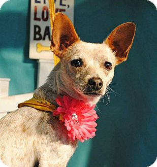 Australian Cattle Dog/Chihuahua Mix Dog for adoption in Weatherford, Texas - Little Lady