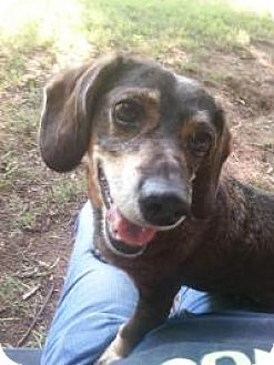 Dachshund/Beagle Mix Dog for adoption in Yukon, Oklahoma - Berta