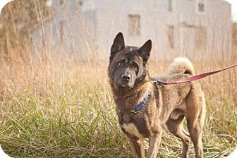 Akita Dog for adoption in Toms River, New Jersey - Chief