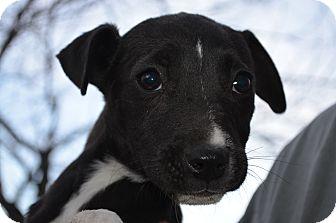 Border Collie/Labrador Retriever Mix Puppy for adoption in Westminster, Colorado - Bella