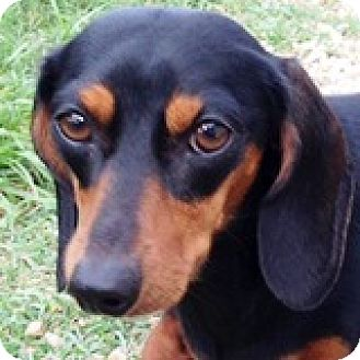 Dachshund Dog for adoption in Houston, Texas - Joanie Cunningham