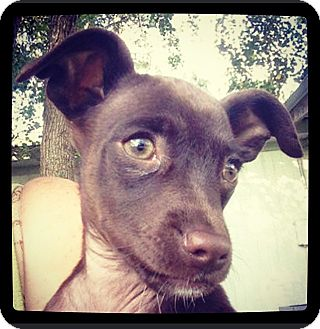 Chihuahua/Terrier (Unknown Type, Small) Mix Puppy for adoption in Grand Bay, Alabama - Zippy