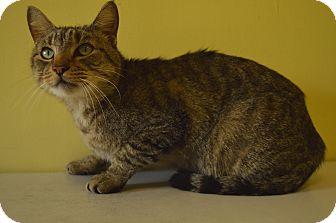 Domestic Shorthair Cat for adoption in LAFAYETTE, Louisiana - JERICHO