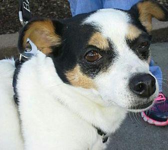 Chihuahua Dog for adoption in Winder, Georgia - Romeo