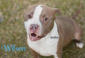 Pit Bull Terrier Dog for adoption in Crandall, Georgia - Wilson