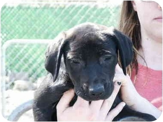 Labrador Retriever Mix Puppy for adoption in Mason City, Iowa - Tara