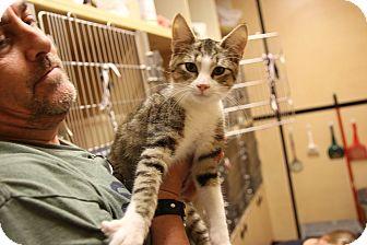 Domestic Shorthair Kitten for adoption in Rochester, Minnesota - Arthur