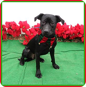 Labrador Retriever Mix Dog for adoption in Marietta, Georgia - MIDNIGHT